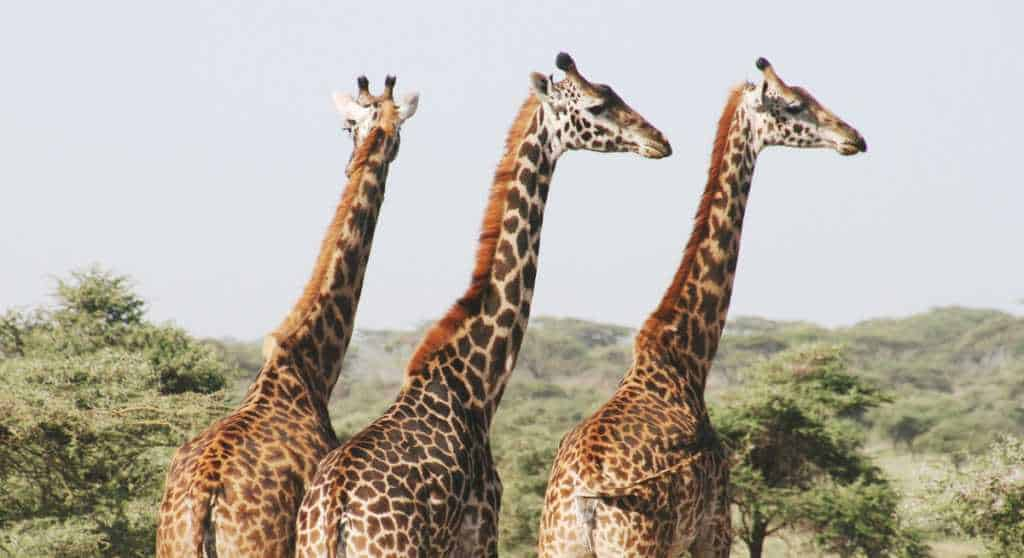 World Giraffe Day 2018