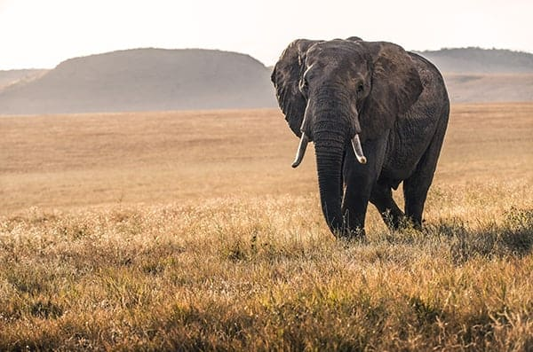 Wildlife Conservation - Elephant in Grassland